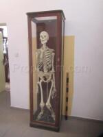 School educational model human skeleton